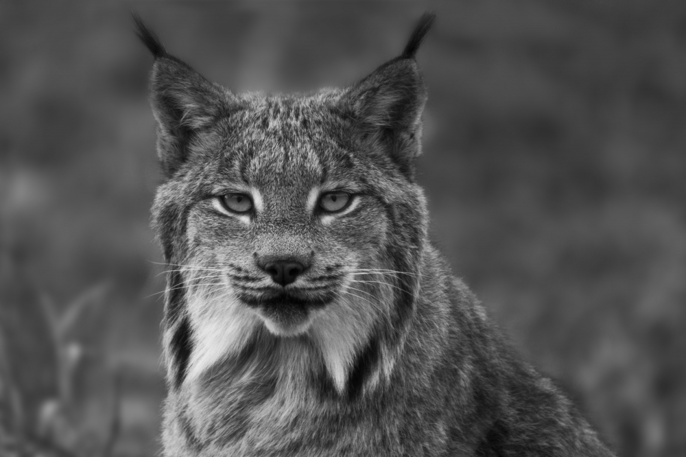 Lynx Black and White