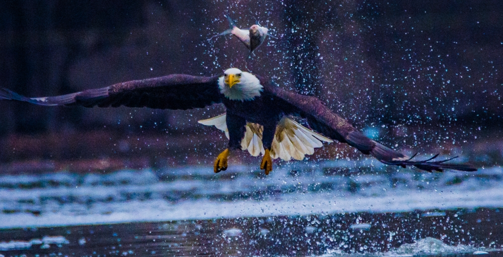 Fish's Fight with Bald Eagle