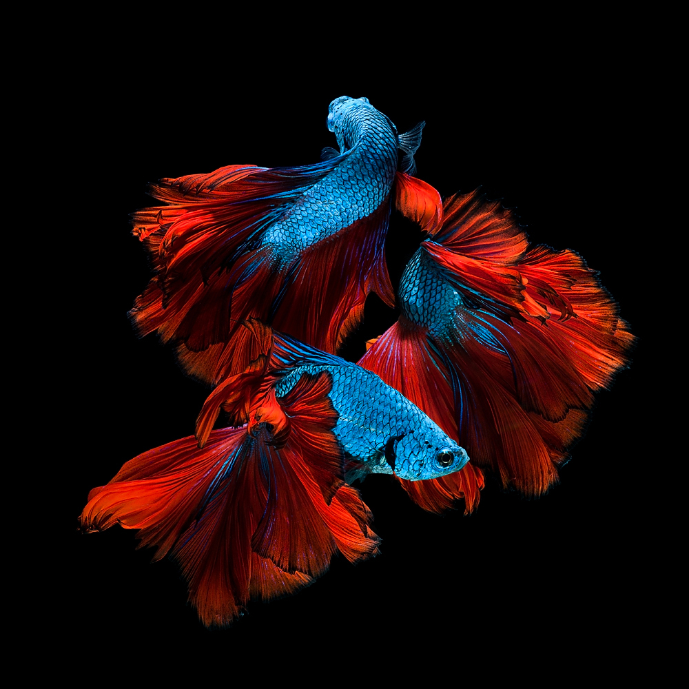 The Elegant of Siamese Fighting Fish