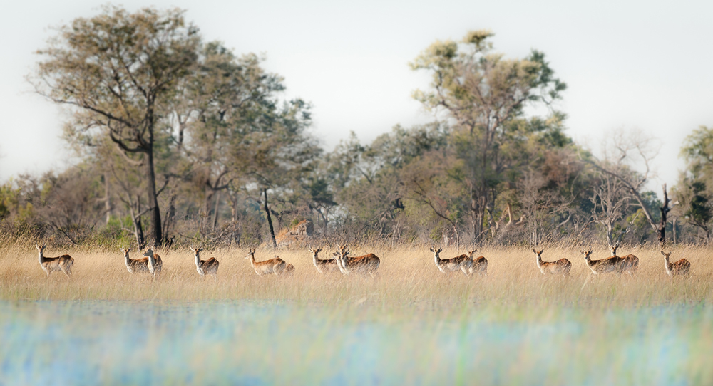 Red Lechwe Herd