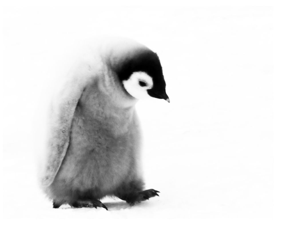 Emperor Penguin Chicks