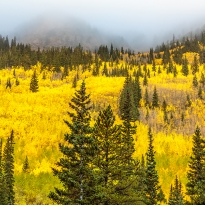 Golden Aspens and Fog
