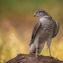 Magnificent SparrowHawk