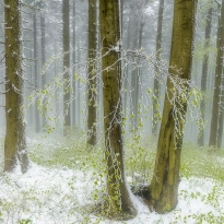 Spring snow in the forest