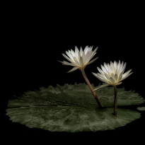 Water Lilies (Nymphaea ampla)