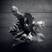 Tulips - A Study in Black and White