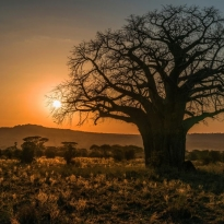 Old baobab at sunset