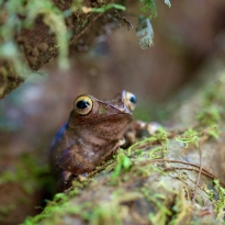 Boophis madagascariensis frog