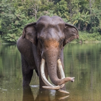 Asia's Last Supertuskers