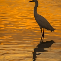 Sunset Meditation with a Snowy Egret at Erin Bay, Trinidad