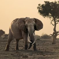 Faces of Tsavo