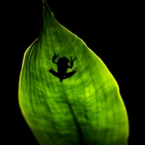 Frog shadow at night in the Gunung Leuser Nationalpark, Indonesia.