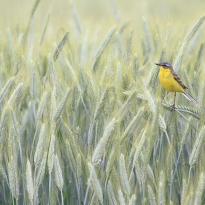 The World of the Yellow Wagtail