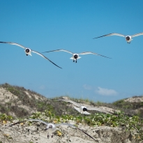 Seagulls and Sand Dunes