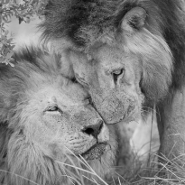 Brother`s love | lions khwai concession moremi game reserve | botswana 2017