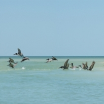 flying pelicans on a sand bar