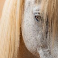 Blond angel horse