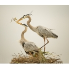 Great Blue Herons trying to rebuild a nest
