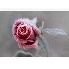 Frost roses
